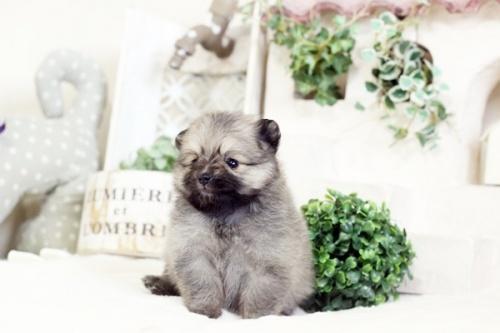 ポメラニアンの子犬(ID:1255411651)の2枚目の写真/更新日:2017-05-16