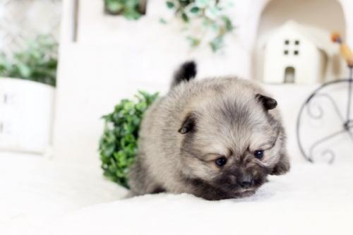 ポメラニアンの子犬(ID:1255411651)の3枚目の写真/更新日:2017-05-16