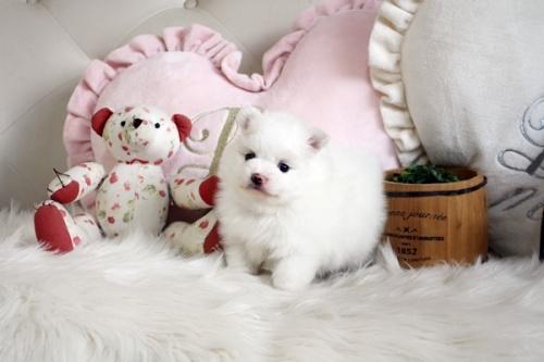 ポメラニアンの子犬(ID:1255411652)の1枚目の写真/更新日:2019-06-19
