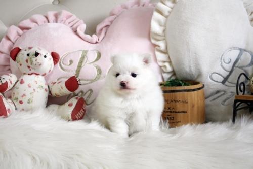 ポメラニアンの子犬(ID:1255411652)の2枚目の写真/更新日:2017-05-16