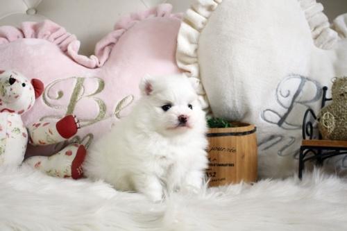 ポメラニアンの子犬(ID:1255411652)の3枚目の写真/更新日:2019-06-19