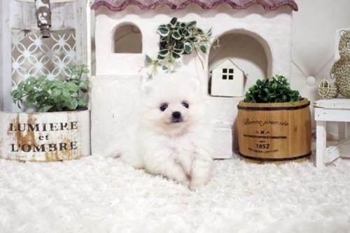 ポメラニアンの子犬(ID:1255411653)の2枚目の写真/更新日:2019-06-19
