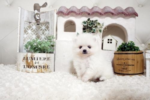 ポメラニアンの子犬(ID:1255411653)の3枚目の写真/更新日:2019-06-19