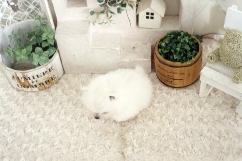 ポメラニアンの子犬(ID:1255411653)の4枚目の写真/更新日:2021-10-05