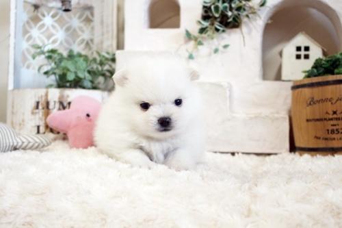 ポメラニアンの子犬(ID:1255411654)の3枚目の写真/更新日:2019-06-19