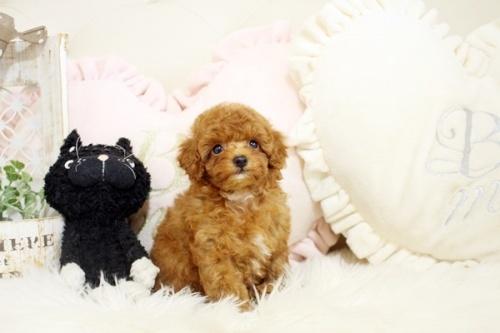 トイプードルの子犬(ID:1255411655)の1枚目の写真/更新日:2021-08-25