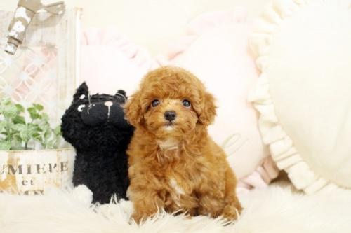 トイプードルの子犬(ID:1255411655)の2枚目の写真/更新日:2017-05-20