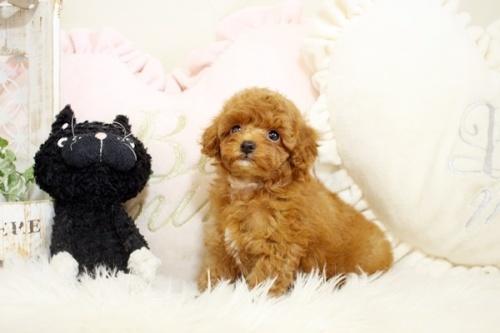 トイプードルの子犬(ID:1255411655)の3枚目の写真/更新日:2021-08-25