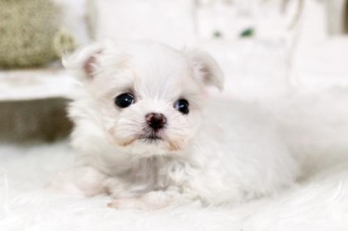 マルチーズの子犬(ID:1255411656)の2枚目の写真/更新日:2017-05-31