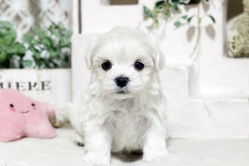 マルチーズの子犬(ID:1255411657)の1枚目の写真/更新日:2017-05-31