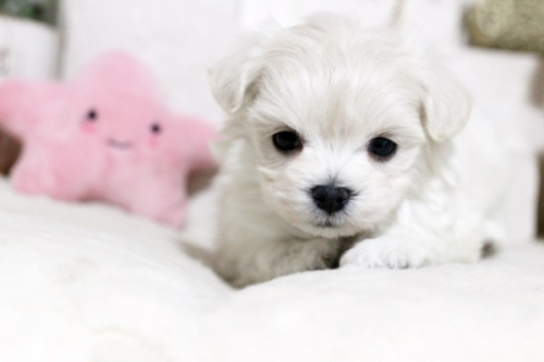 マルチーズの子犬(ID:1255411657)の2枚目の写真/更新日:2017-05-31
