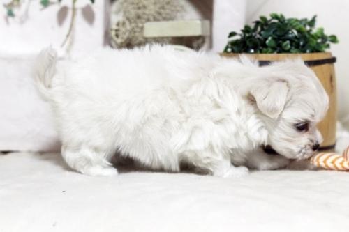 マルチーズの子犬(ID:1255411657)の3枚目の写真/更新日:2017-05-31