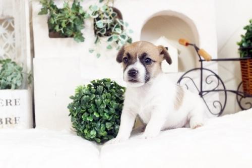 ジャックラッセルテリアの子犬(ID:1255411658)の1枚目の写真/更新日:2017-06-08