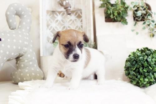 ジャックラッセルテリアの子犬(ID:1255411658)の2枚目の写真/更新日:2017-06-08