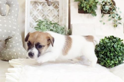 ジャックラッセルテリアの子犬(ID:1255411658)の3枚目の写真/更新日:2017-06-08