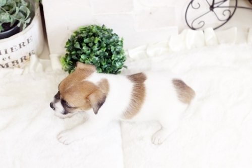 ジャックラッセルテリアの子犬(ID:1255411658)の4枚目の写真/更新日:2017-06-08