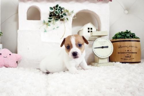 ジャックラッセルテリアの子犬(ID:1255411659)の1枚目の写真/更新日:2017-06-08