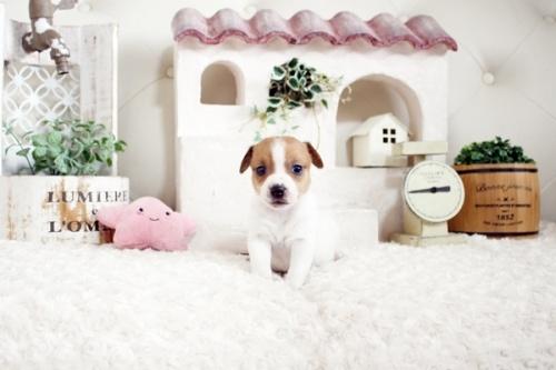 ジャックラッセルテリアの子犬(ID:1255411659)の2枚目の写真/更新日:2021-06-24