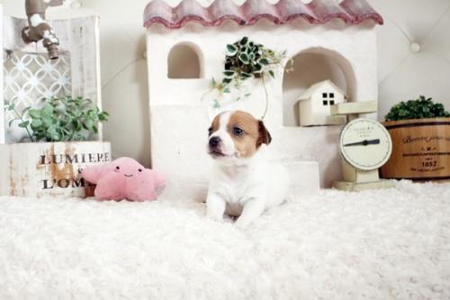 ジャックラッセルテリアの子犬(ID:1255411659)の3枚目の写真/更新日:2021-06-24