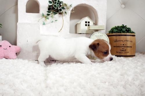 ジャックラッセルテリアの子犬(ID:1255411659)の4枚目の写真/更新日:2021-06-24