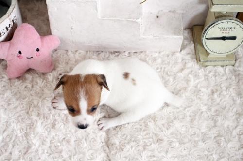 ジャックラッセルテリアの子犬(ID:1255411659)の5枚目の写真/更新日:2021-06-24
