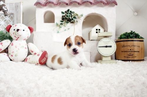ジャックラッセルテリアの子犬(ID:1255411660)の1枚目の写真/更新日:2021-06-24