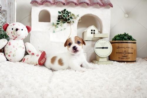 ジャックラッセルテリアの子犬(ID:1255411660)の2枚目の写真/更新日:2021-06-24