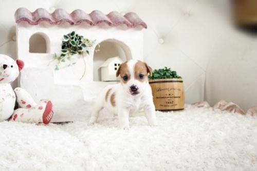 ジャックラッセルテリアの子犬(ID:1255411660)の3枚目の写真/更新日:2021-06-24