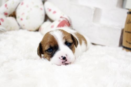 ジャックラッセルテリアの子犬(ID:1255411661)の1枚目の写真/更新日:2019-04-23