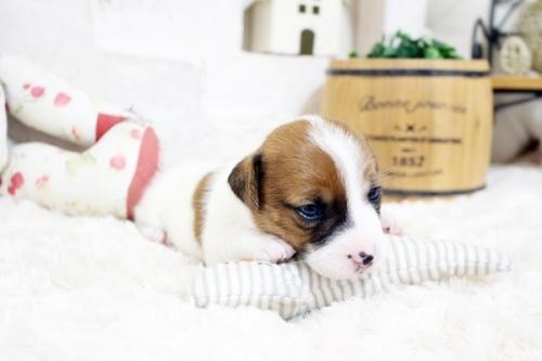 ジャックラッセルテリアの子犬(ID:1255411661)の2枚目の写真/更新日:2017-06-08