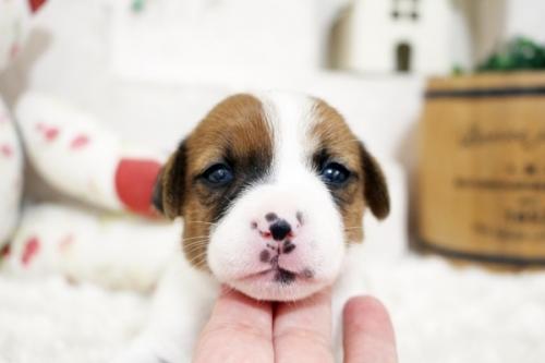ジャックラッセルテリアの子犬(ID:1255411661)の3枚目の写真/更新日:2017-06-08