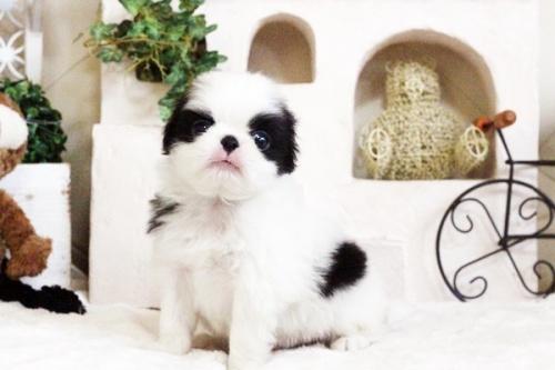 狆(チン)の子犬(ID:1255411662)の1枚目の写真/更新日:2017-06-19