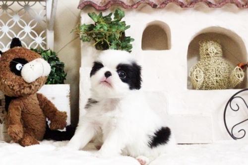 狆(チン)の子犬(ID:1255411662)の3枚目の写真/更新日:2017-06-19
