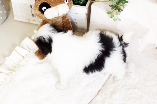 狆(チン)の子犬(ID:1255411662)の4枚目の写真/更新日:2017-06-19