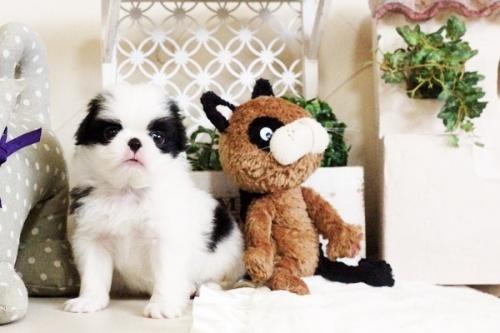 狆(チン)の子犬(ID:1255411662)の5枚目の写真/更新日:2017-06-19