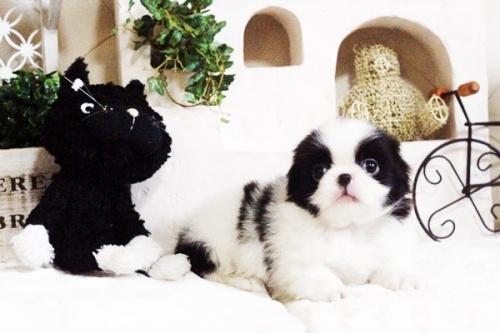 狆(チン)の子犬(ID:1255411663)の2枚目の写真/更新日:2017-06-19