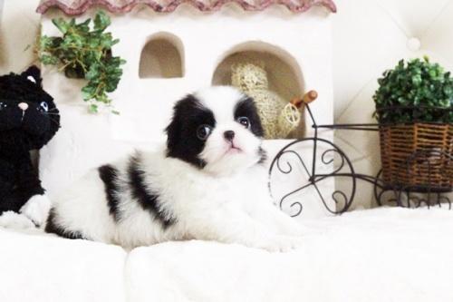 狆(チン)の子犬(ID:1255411663)の4枚目の写真/更新日:2017-06-19