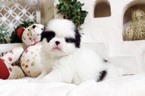 狆(チン)の子犬(ID:1255411664)の1枚目の写真/更新日:2017-06-19