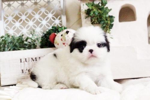 狆(チン)の子犬(ID:1255411664)の2枚目の写真/更新日:2017-06-19