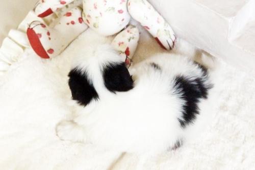 狆(チン)の子犬(ID:1255411664)の3枚目の写真/更新日:2017-06-19