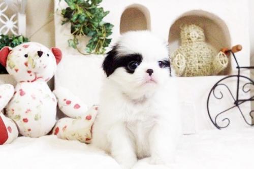 狆(チン)の子犬(ID:1255411664)の5枚目の写真/更新日:2017-06-19