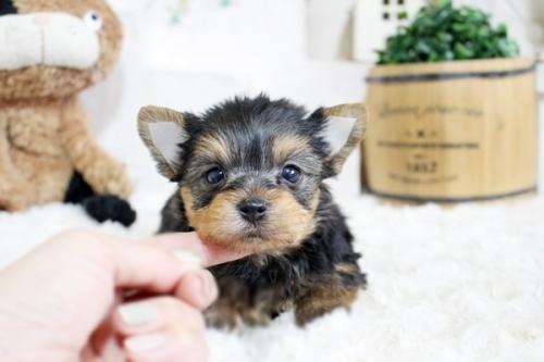 ヨークシャーテリアの子犬(ID:1255411665)の1枚目の写真/更新日:2017-06-03