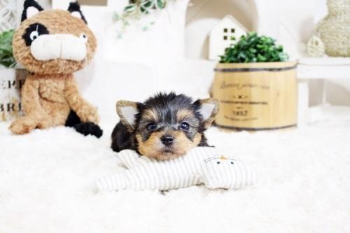 ヨークシャーテリアの子犬(ID:1255411665)の2枚目の写真/更新日:2017-06-03