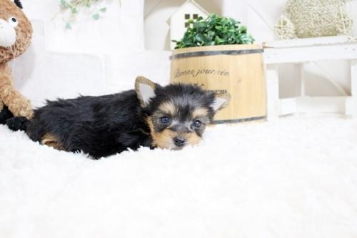 ヨークシャーテリアの子犬(ID:1255411665)の3枚目の写真/更新日:2017-06-03