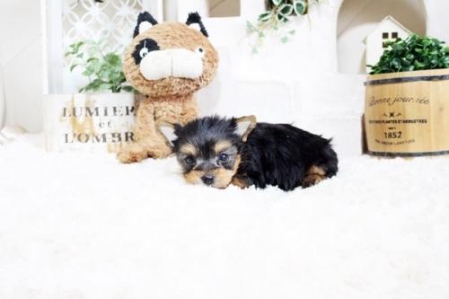 ヨークシャーテリアの子犬(ID:1255411665)の4枚目の写真/更新日:2017-06-03
