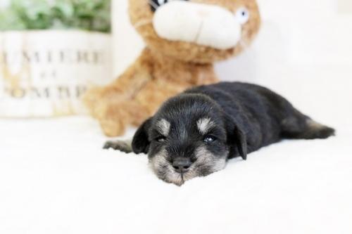 ミニチュアシュナウザーの子犬(ID:1255411666)の2枚目の写真/更新日:2019-06-05