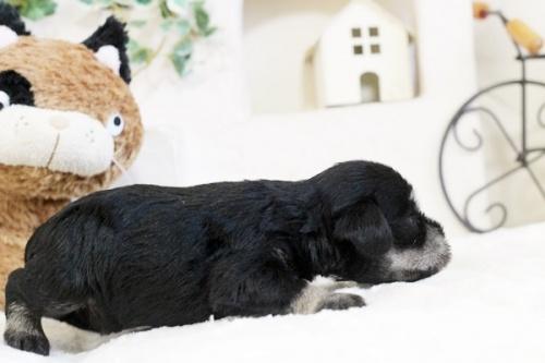 ミニチュアシュナウザーの子犬(ID:1255411666)の3枚目の写真/更新日:2017-06-08