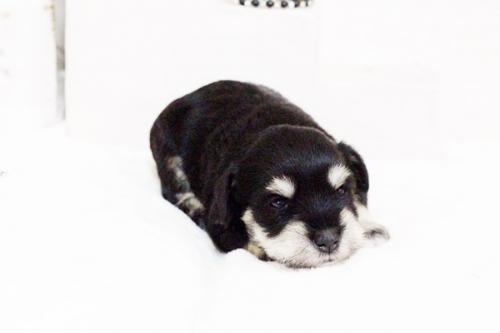 ミニチュアシュナウザーの子犬(ID:1255411667)の3枚目の写真/更新日:2017-06-08