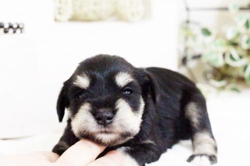 ミニチュアシュナウザーの子犬(ID:1255411667)の5枚目の写真/更新日:2017-06-08