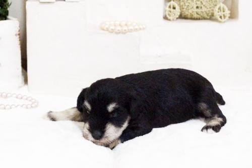 ミニチュアシュナウザーの子犬(ID:1255411668)の2枚目の写真/更新日:2017-06-08